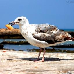 Maroc - La mouette gourmande