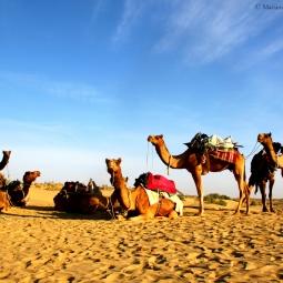 Inde - Famille de dromadaires
