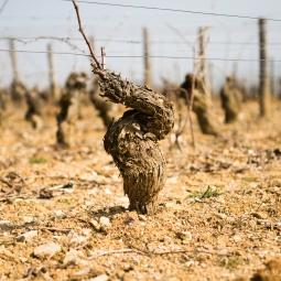 France - Pied de vigne