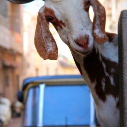 Inde - La chèvre amicale